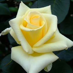 Rose 'Lemon Beauty'
